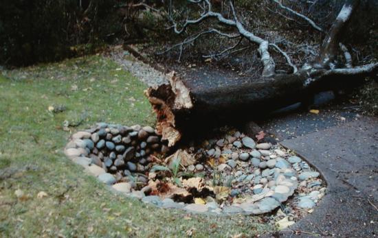 interior live oak root failure