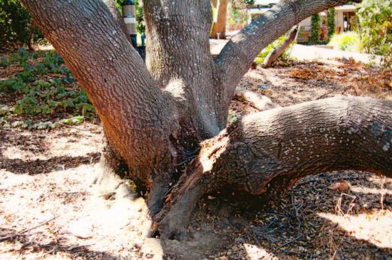 interior live oak trunk failure