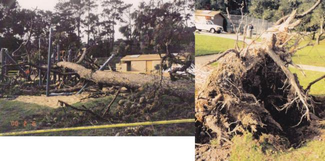 Monterey pine root failure