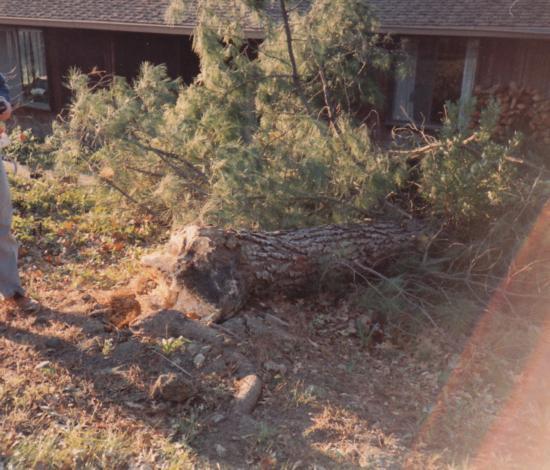 Monterey pine trunk failure at ground level