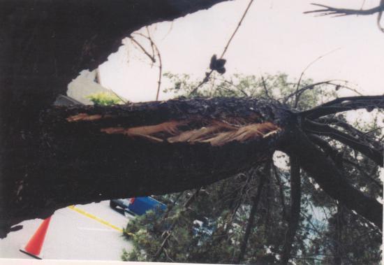 Monterey pine branch failure