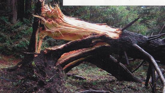 Douglas fir trunk failure