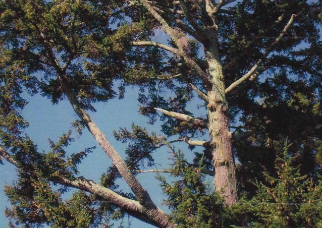 Douglas fir branch failure
