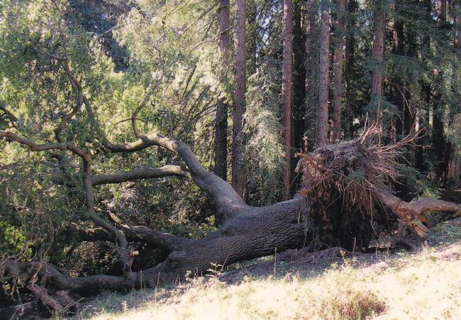California bay root failure