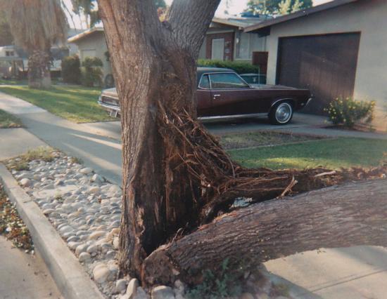 Modesto ash trunk failure