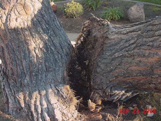 Italian stone pine trunk failure