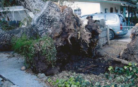 coast live oak trunk failure at ground level