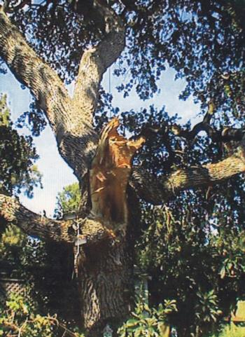 valley oak branch failure