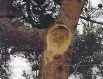 Aleppo pine branch failure