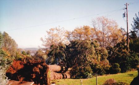 Douglas fir root failure