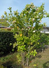 A multi-grafted tree in a Hacienda Heights backyard was the first in California to be found infected with HLB.