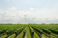 Photo of a vineyard with bright green vegetation growing between each row.