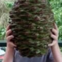 Bunya Bunya Cone (from: wikimedia.org)