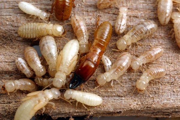 drywood termites_2