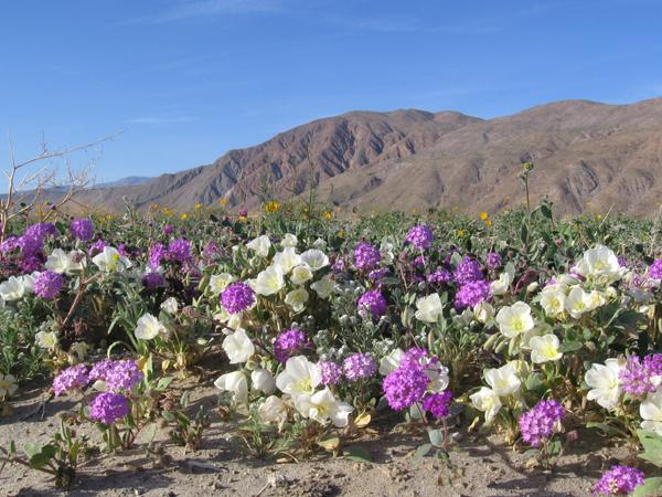 California desert wildflower at Anza Borrego State Park.