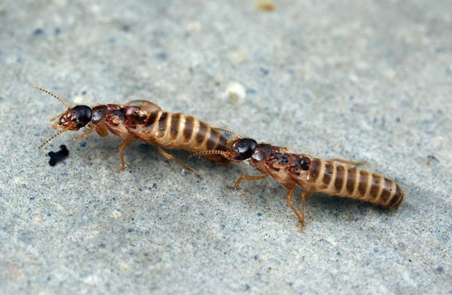 gnathamitermes perplexus