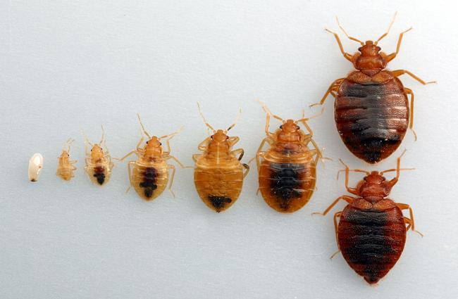 Development of bed bug