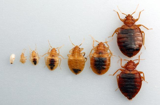 bed bug instars