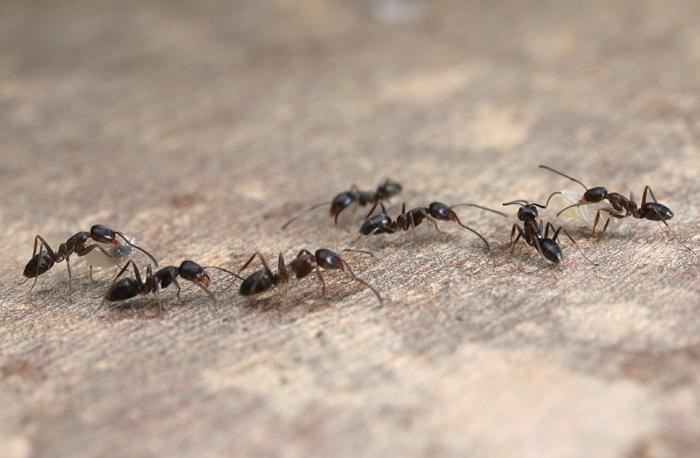 Argentine ants trailing