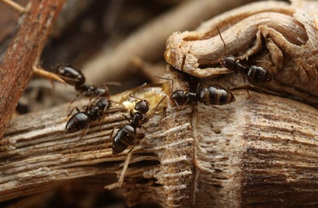 Dark rover ants