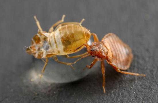 bed-bug-on-an-exuvia_2