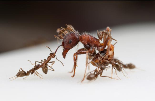 Argentine ants vs. a harvester ant