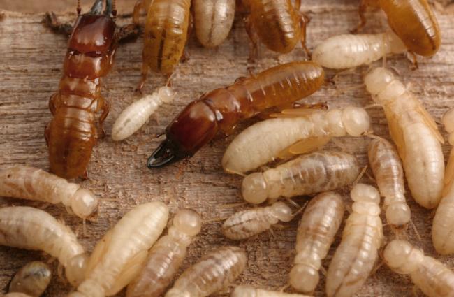 western drywood termites