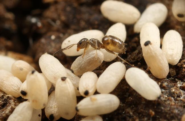 Brachymyrmex ant and cocoons