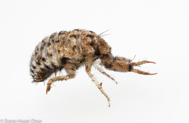 Antlion larva