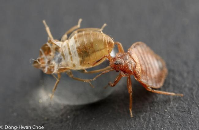 A bed bug and its exuvia