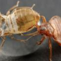 bed-bug-on-an-exuvia_2-1