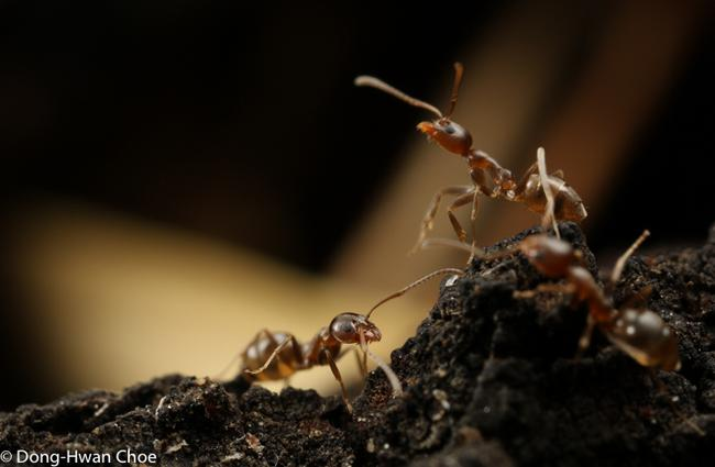 Argentine ants on a tree
