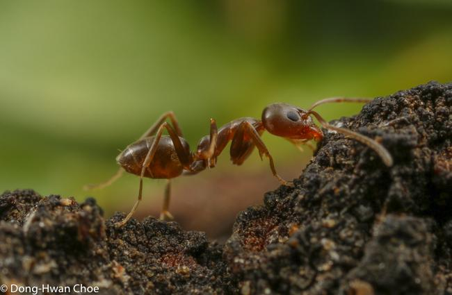 An Argentine ant on a tree