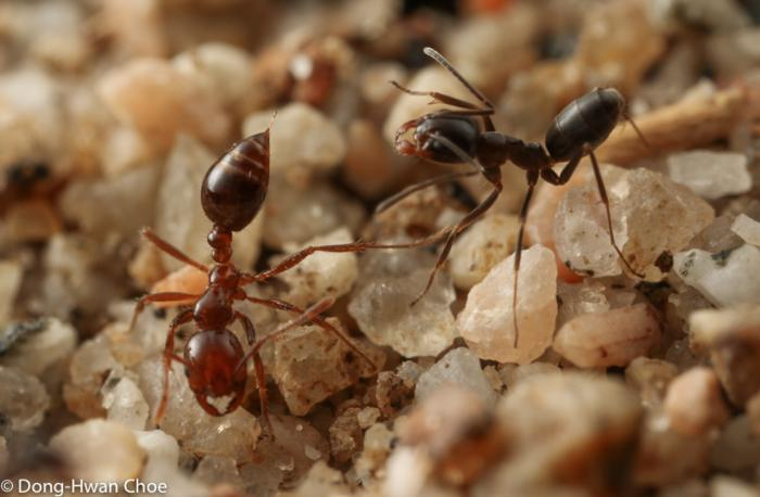 Agonistic interactions between Solenopsis ant and Dorymyrmex ant