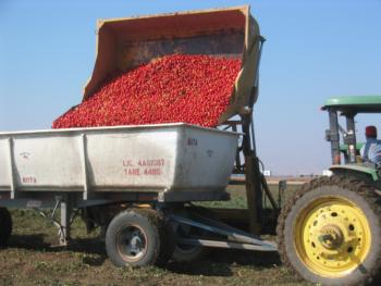 Harvest of a processing tomato research trial