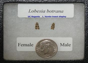 Male and female L.botrana