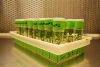 Fig. 5. Walnut plantlets growing in tissue culture.