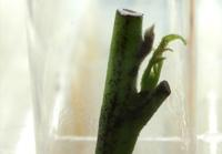 Fig. 8. A new nodal cutting beginning to push a bud.