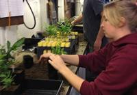 Fig. 22. Re-potting micropropagated plantlets for Phytophthora resistance testing.
