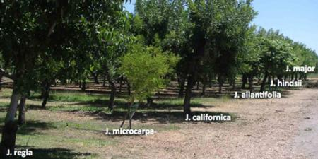 USDA Walnut Germplasm Collection, Winters, CA