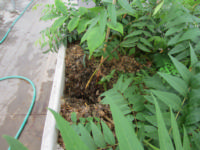 Fig. 3. Roots developing in greenhouse stooling bed.