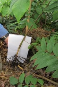 Fig. 4. Roots developing in greenhouse stooling bed.